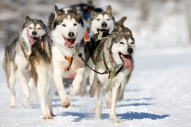 front view at four siberian huskys at race in winter